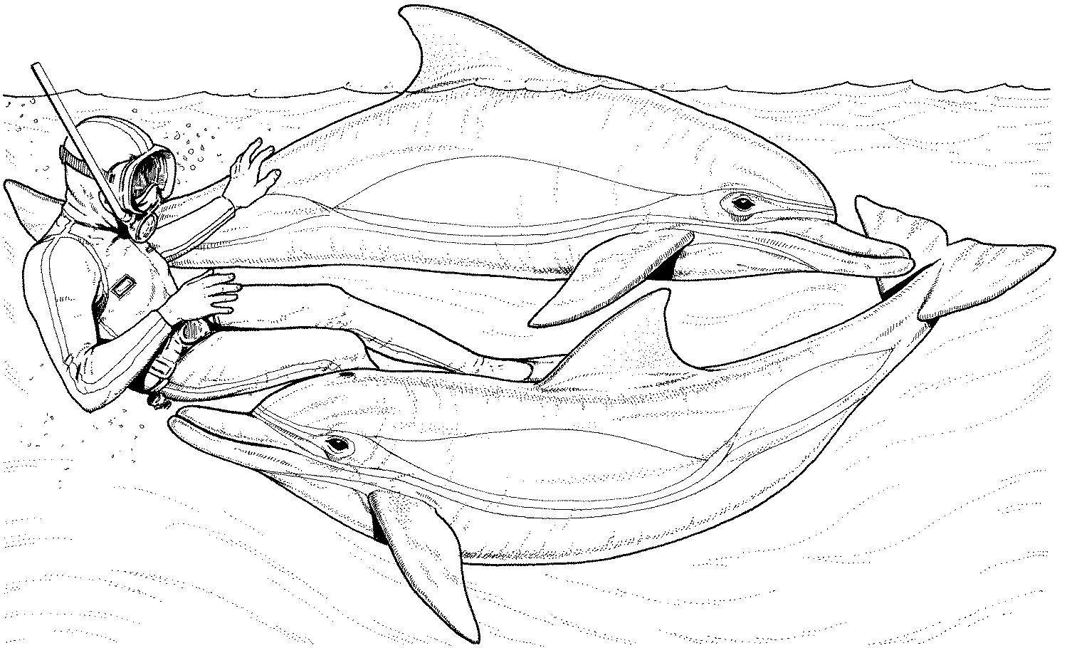 Free coloring pages dolphins - Free Dolphin Coloring Pages