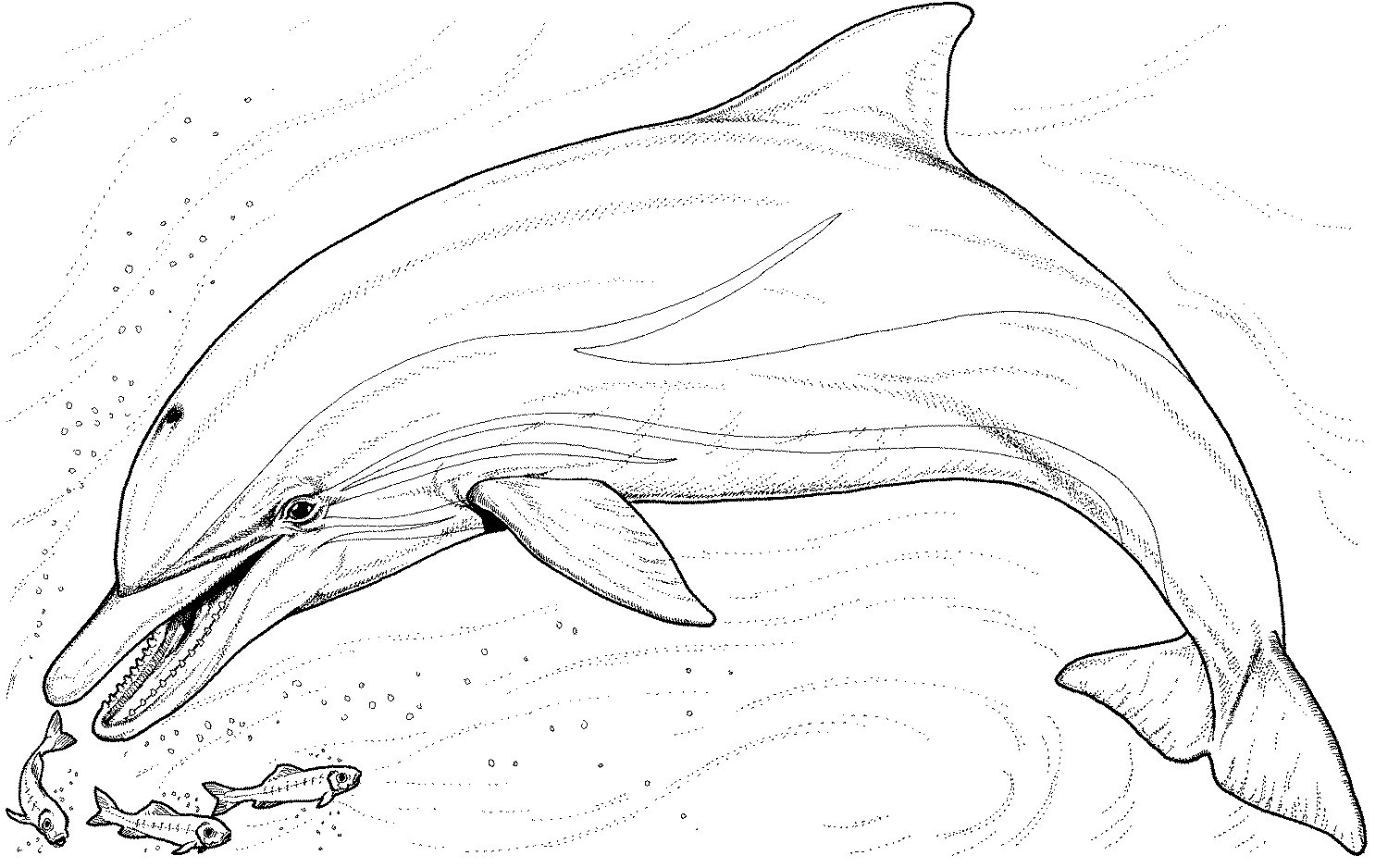 Dolphin Coloring Pages Dolphin Color Page