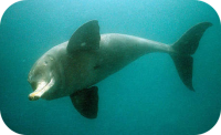 Ganges River Dolphin Photo
