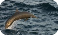 Central American Spinner Dolphin Photo
