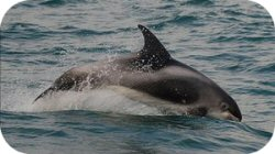 White Beaked Dolphin Photo